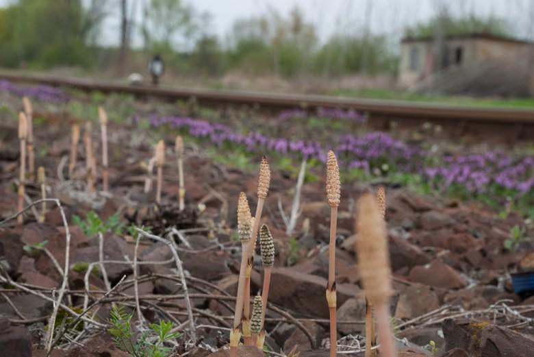 Szparagi na peronie w Tuchorzy